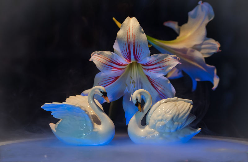 Flower No People Swan Lake Swans Black Background Close-up Freshness Indoors  Fragility Flower Head Blue Water Black And White White Swans Nature Beauty Light And Shadow