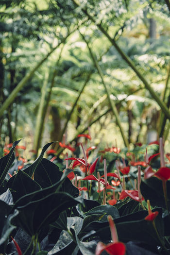 Martinique, Jardin de Balata Anthurium Martinique Beauty In Nature Close-up Day Flower Flowering Plant Focus On Foreground Fragility Freshness Green Color Growth Island Land Leaf Nature No People Outdoors Plant Plant Part Red Selective Focus Tropical Tropical Climate Tropical Plants Vulnerability