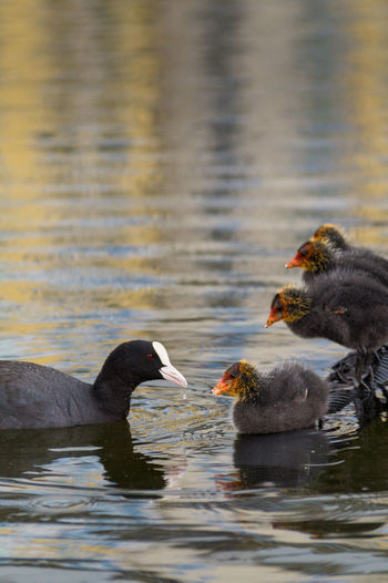 Coot with young birds swimming on lake