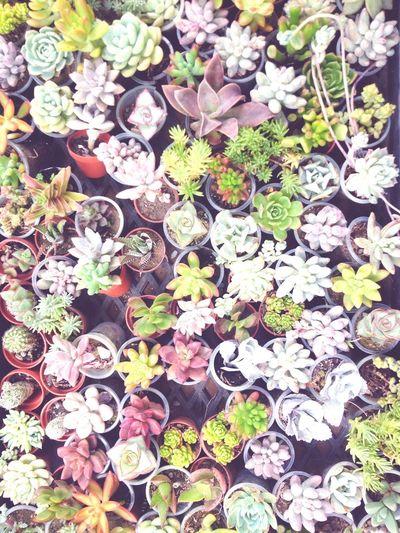 Succulents Succulent Plants