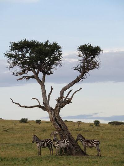 Zebra Tree Safari Animals Gaming Animals In The Wild Sky Africa Kenya Safari Nature Animal Wildlife African Safari