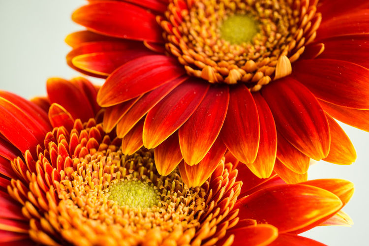 Close-up of red gerbera daisies against white background