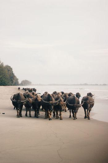 Buffalo hordes walking along the beach buffalo soldier
