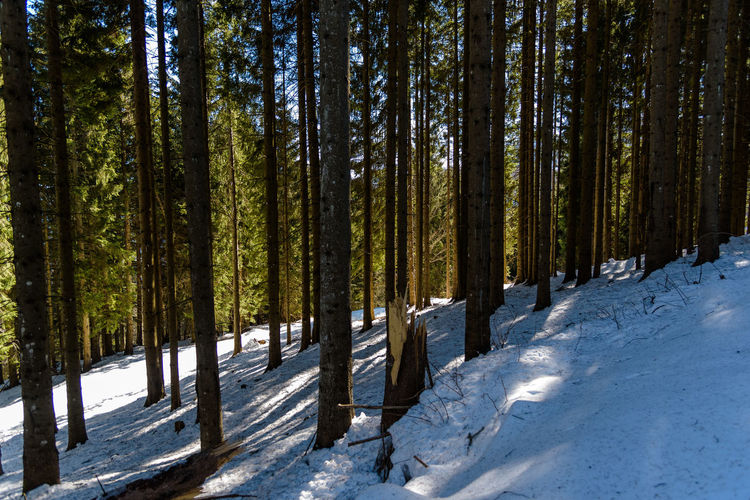 Erve Erve Miozzo Photo Miozzo Pine Tree Day Tree Trunk No People WoodLand Scenics - Nature Non-urban Scene Nature Beauty In Nature Winter Forest Snow Tree Cold Temperature Outdoors Pine Woodland Tranquility Coniferous Tree Plant Land Tranquil Scene Trunk