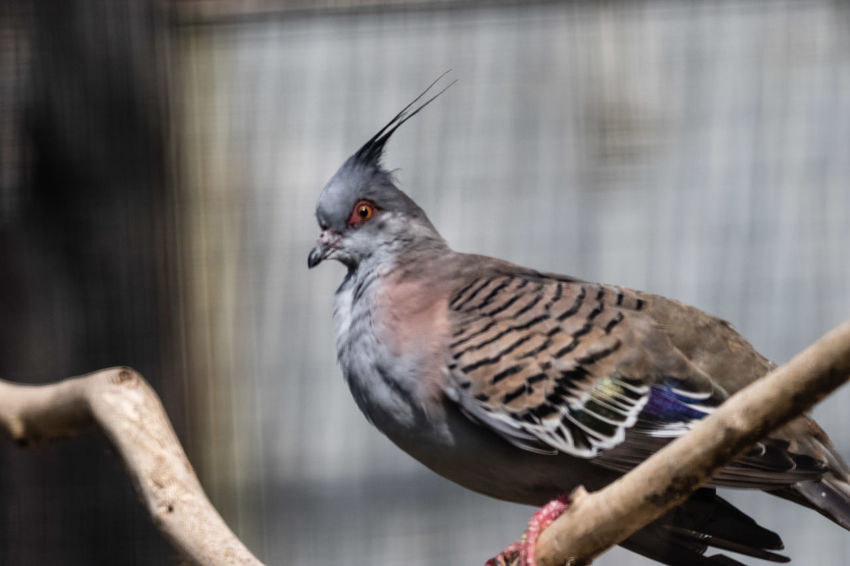 The crested pigeon (Ocyphaps lophotes) is a bird found widely throughout mainland Australia except for the far northern tropical areas. Only two Australian pigeon species possess an erect crest, the crested pigeon and the spinifex pigeon. The crested pigeon is the larger of the two species. The crested pigeon is sometimes referred to as a topknot pigeon, a common name shared with the reddish crested Lopholaimus antarcticus of Eastern Australia. https://en.wikipedia.org/wiki/Crested_pigeon Animal Beak Bird Close-up Crested Pigeon Gray Nature Side View