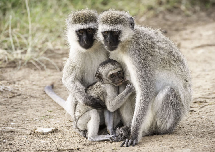 Gray langurs with infant on field