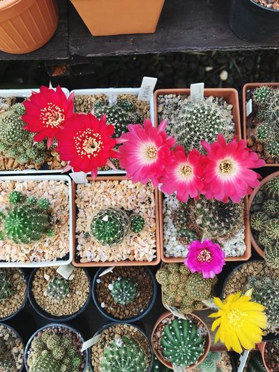 Cactus flowers Flowering Plant Flower Plant High Angle View Beauty In Nature Potted Plant Variation Choice Cactus No People Succulent Plant Arrangement For Sale Nature Inflorescence Growth Day Freshness Outdoors Flower Head