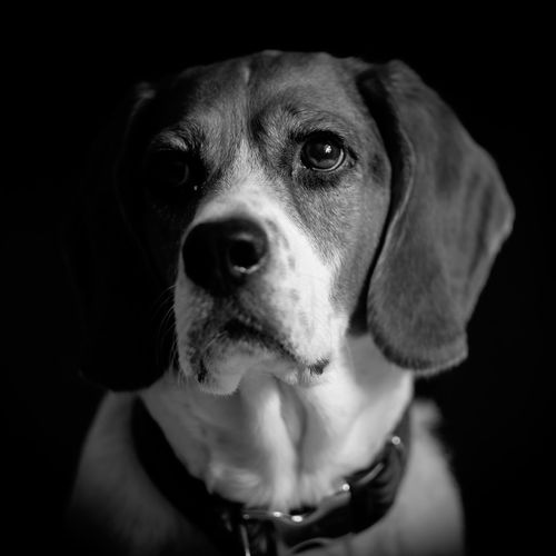 Black and white Odin Dog Pets Domestic Animals One Animal No People Close-up Black Background Outdoors Day Beagle Beaglelife Animal Themes Mammal First Eyeem Photo