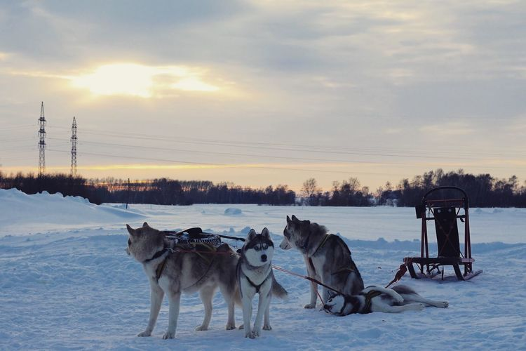 Sled dogson snow covered landscape against sky during sunset