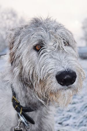 One Animal Animal Themes Domestic Animals Outdoors Snow Close-up Cold Temperature Snowing Falling Snowwwwwww ❄❄❄❄❄❄❄❄❄❄❄❄❄ First Touch Of Winter Winter Is Coming... The Places ı've Been Today How's The Weather Today? It Is Cold Outside Showcase December December 2016 Autumn 2016 Dog Of The Day Irish Wolfhound Cearnaigh Dogslife Dogwalk Dogs Of EyeEm Looking At Camera Portrait