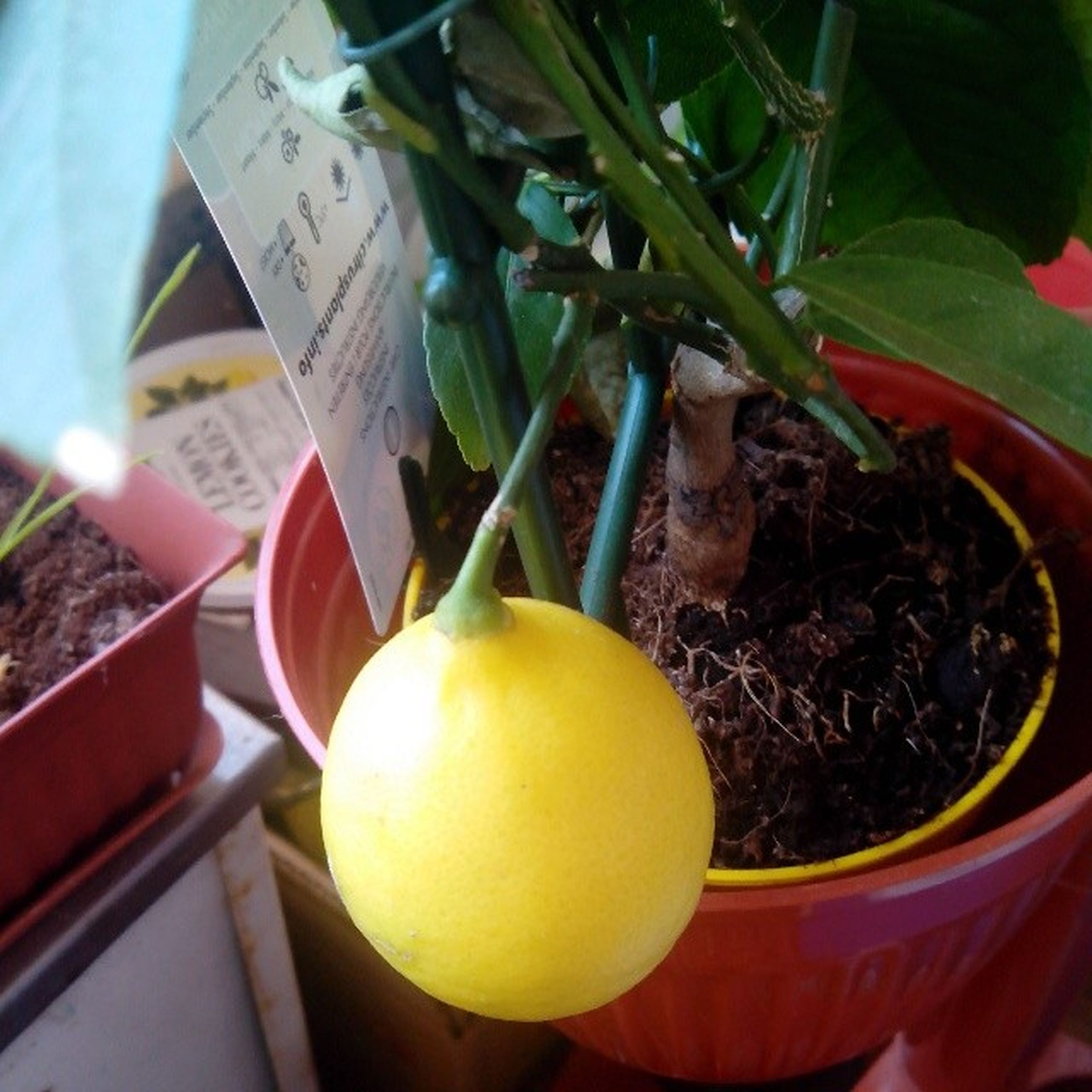 food and drink, fruit, yellow, food, healthy eating, tree, freshness, close-up, hanging, text, growth, day, no people, leaf, focus on foreground, communication, outdoors, building exterior, still life, lemon