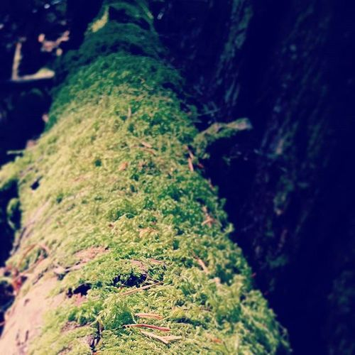 My phone is filled with pictures of Moss on a Log in the Forest . Imighthaveaproblem Mossobsessed