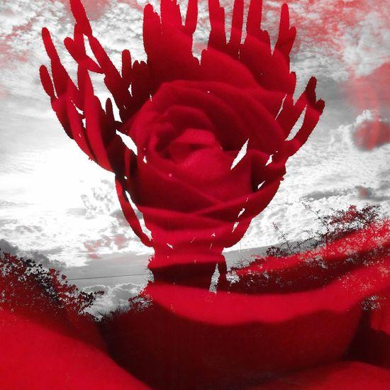 Brincadeira do dia Day 1 Double Exposure Red Rose Cactus em Tucano - BA