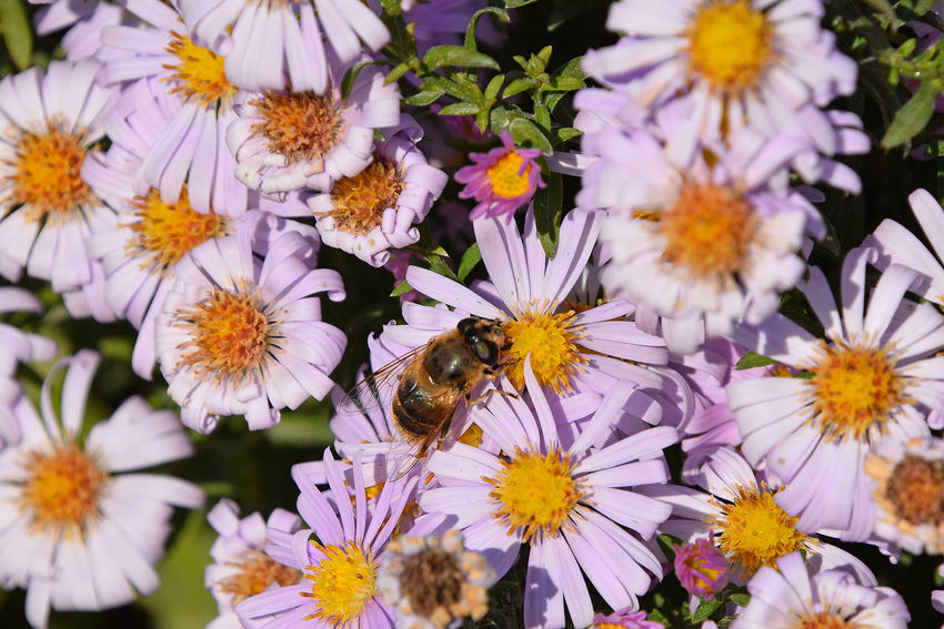 Pink Alpine aster flowers and bees Aster Bee Bees Flower Collection Flowers Flowers,Plants & Garden Nature Nature Photography Nature_collection Pink Pink Flower Spring Springtime Summer Summertime Nature's Diversities The Essence Of Summer A Bird's Eye View