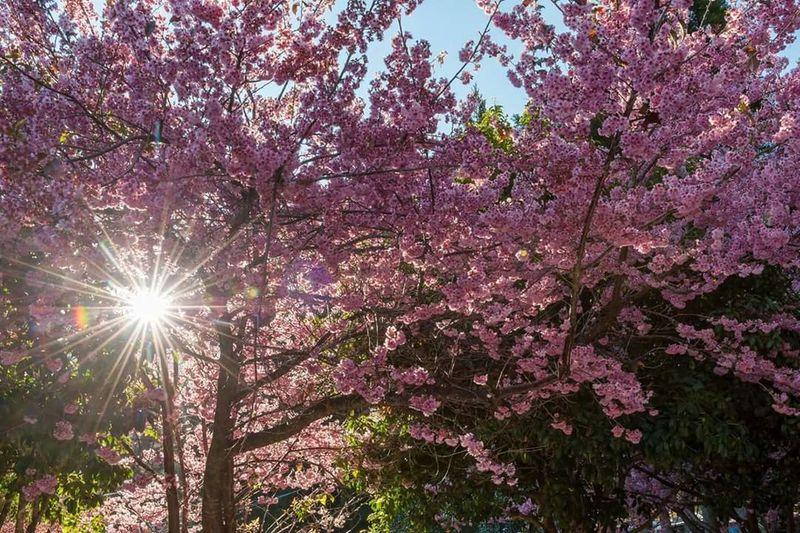 一天一張 Sakura 櫻花