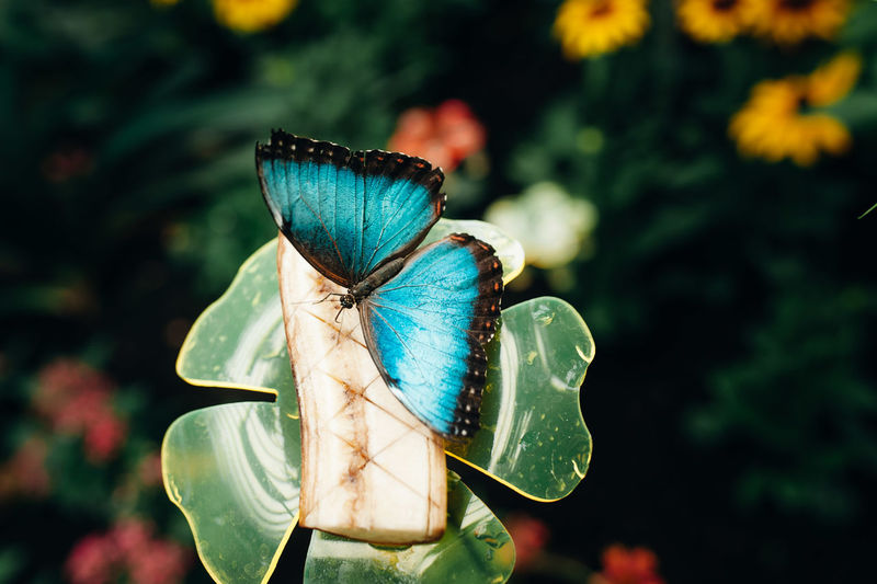 Close-up of blue morpho butterfly pollinating on flower