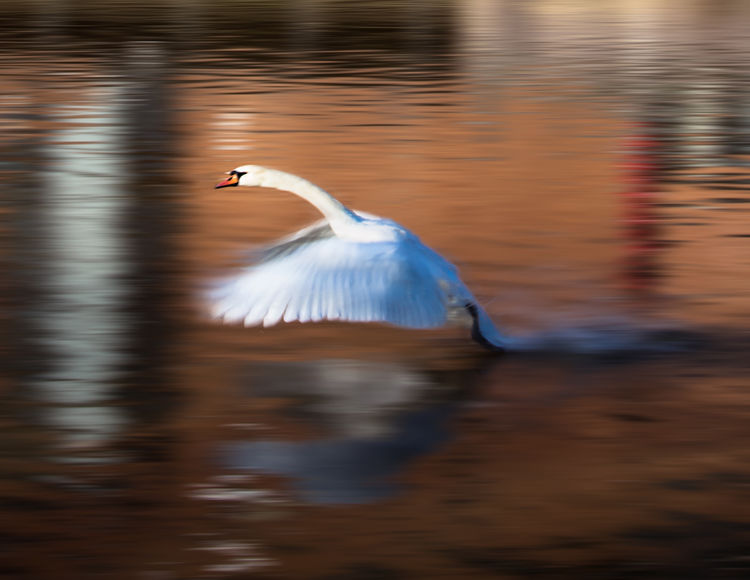Wings of a swan. Beauty In Nature Bird Photography Birds Of EyeEm  Motion Motion Blur Natural Beauty Nature Nature Photography No People Outdoors Rippled River Avon Swan Swan Lake Swan Wings Water Water Reflections Waterfront White Bird Wildlife & Nature Wildlife Photography Wings Open