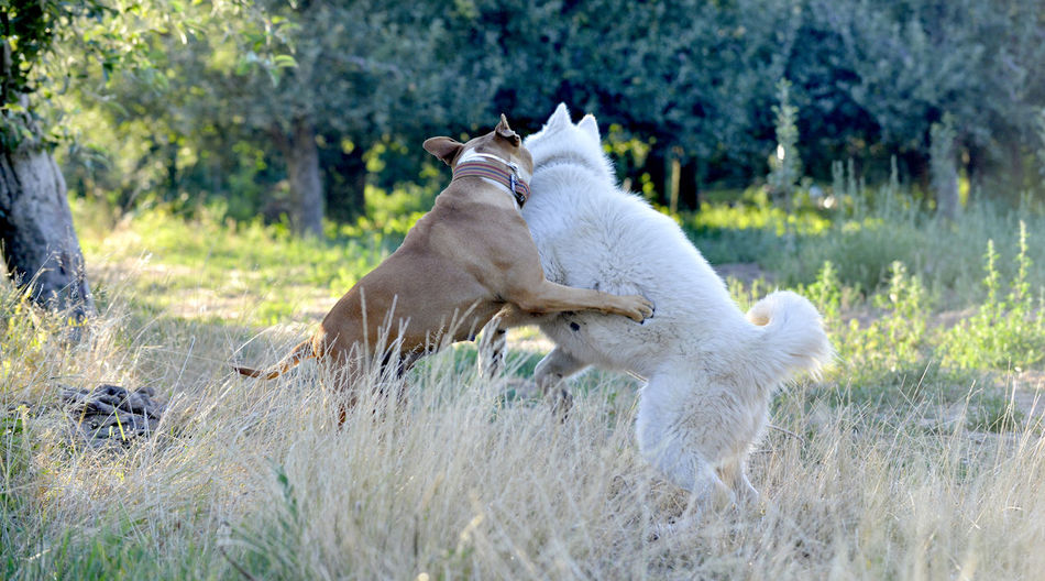 dogs Amstaff Dogs Morning Animal Themes Dogs Playing Together Husky Playfull