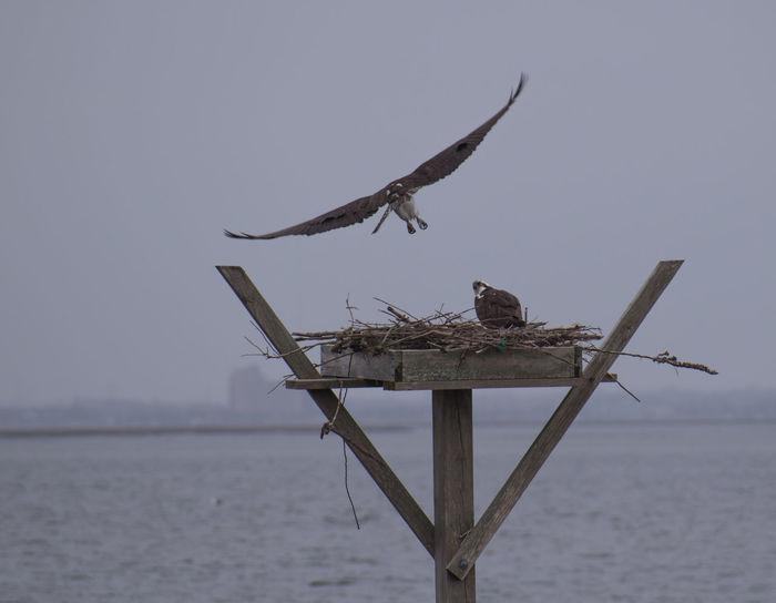 Early season Ospreys put on a display Fish Hawk Raptor Salt Marsh Bird Building A Nest Flying Bird Mating Behavior Osprey  Pair Of Birds Two Birds