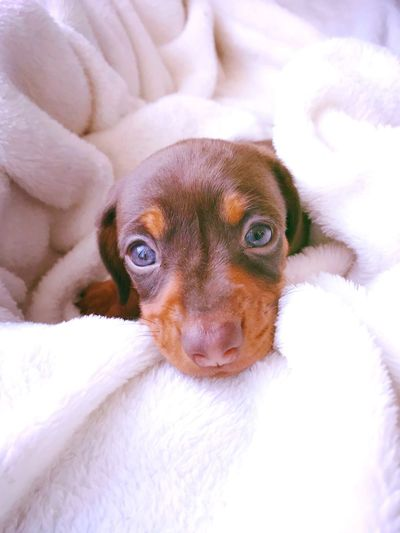 Cuddles!? Weiner-Dog Brown Chocolate Dogs Doxie Puppy Miniature Cute Love Dachshund Looking At Camera Portrait Pets Dog Mammal Cute Puppy Close-up Animal Themes Young Animal Indoors  One Animal