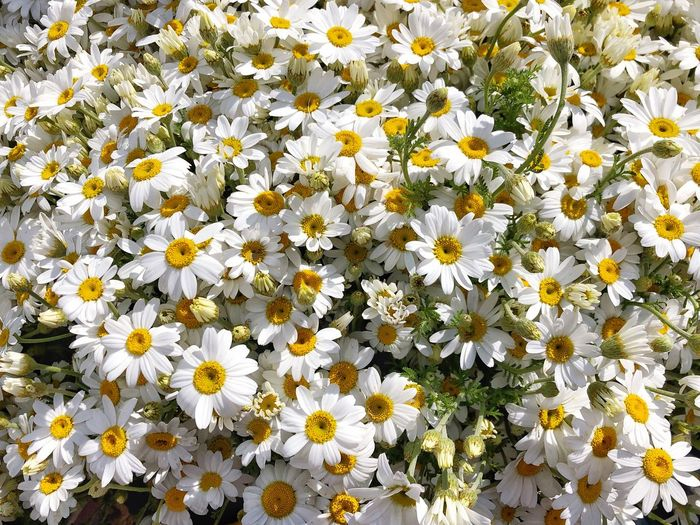 Flowering Plant Freshness Flower Vulnerability  Plant Fragility Growth Beauty In Nature Flower Head White Color Petal Inflorescence Nature Close-up Daisy No People Day High Angle View Yellow