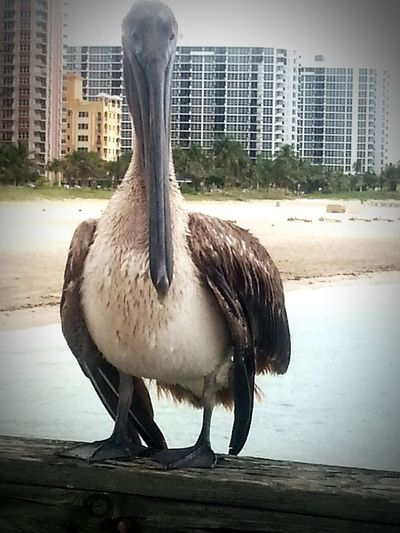 Fishingpier Florida United States Pompanobeach Pelican BIG Eatfish Beautiful Paradise ❤ Ocean