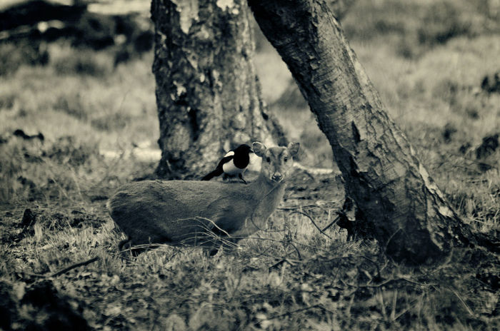 Folk Tales Dark Wood Unexpected Nature Chance Lucky Shot Wild Story Drama Whispering MonochromePhotography Monochrome Nature Animal Deer Animal Themes Animal Wildlife Animals In The Wild Atmospheric Atmospheric Nature Bird Day Focus On Foreground Magpie Monochrome Muntjac Nature No People Outdoors Perching Young Animal