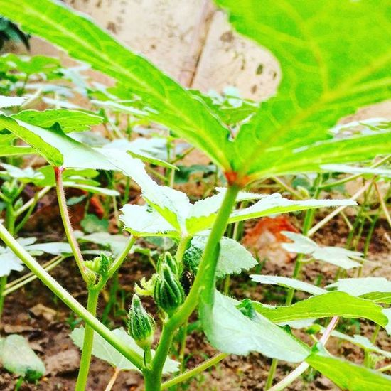 Tiny Ocra Bhindi Ladiesfinger popping out to say hello world in my little garden :)