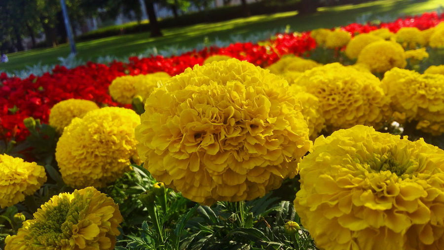 Close-up of fresh yellow flowers in park