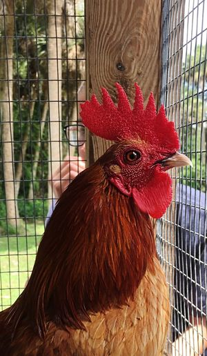 Chicken - Bird Rooster Livestock Domestic Animals Cockerel Bird Cage One Animal Hen Agriculture Birdcage Close-up Poultry Farm Animal Themes Animal Head  Animal Crest Red Rural Scene Focus On Foreground Community Mission Orphans Fosters