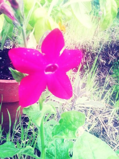Flower Nicotina Pink