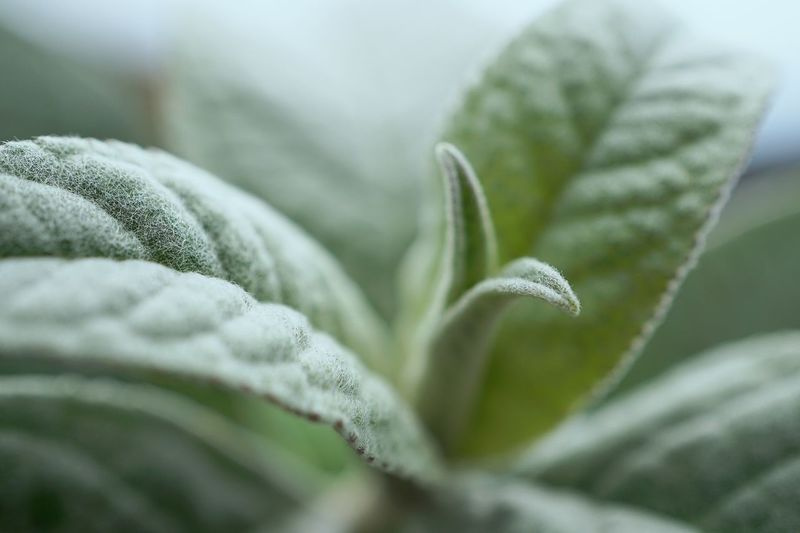 Close-up of frosted leaves during winter