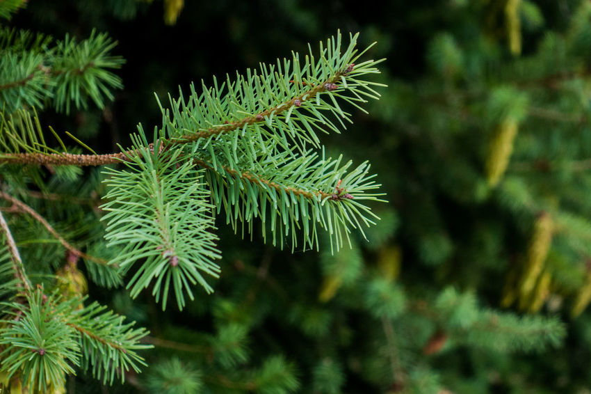 Beauty In Nature Branch Close-up Coniferous Tree Day Fir Tree Focus On Foreground Green Green Color Growth Leaf Nature Needle - Plant Part No People Outdoors Pine Tree Plant Plant Part Selective Focus Spiky Tranquility Tree
