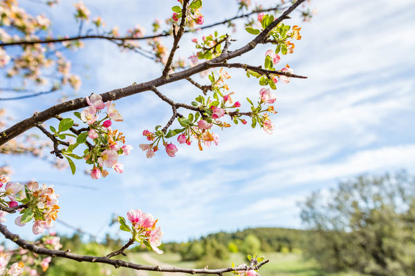 Beauty In Nature Blossom Branch Cherry Blossom Close-up Cloud - Sky Day Flower Flower Head Flowering Plant Focus On Foreground Fragility Freshness Growth Low Angle View Nature No People Outdoors Pink Color Plant Sky Springtime Tree Vulnerability