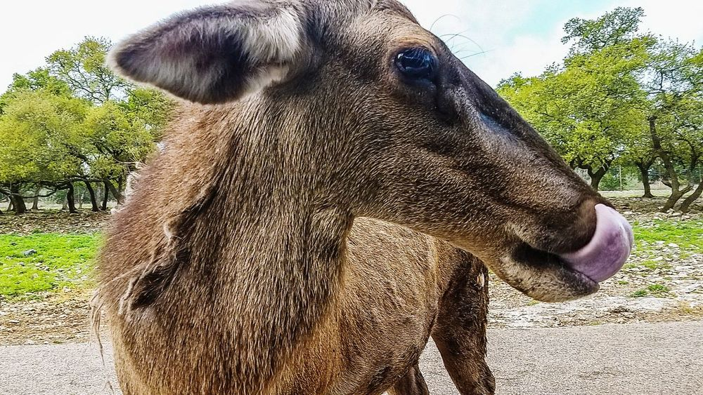 One Animal Animal Themes Mammal Outdoors Nature Close-up Day Animal Eye Lick Beauty In Nature No People Samsung Galaxy S7 Edge Done That. Summer Exploratorium The Great Outdoors - 2018 EyeEm Awards Summer Road Tripping