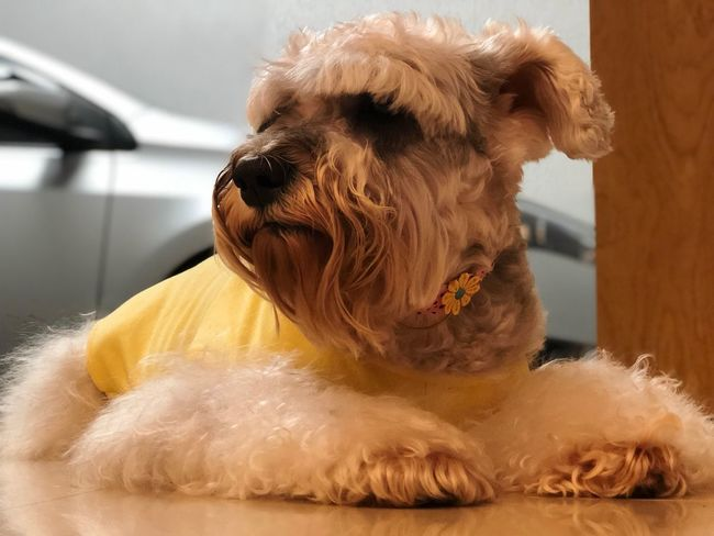 Pet Photography  Pets Schnauzer Dog Love Dogs Dog One Animal Mammal Dog Canine Animal Animal Themes Pets Focus On Foreground Close-up Domestic Animals Domestic