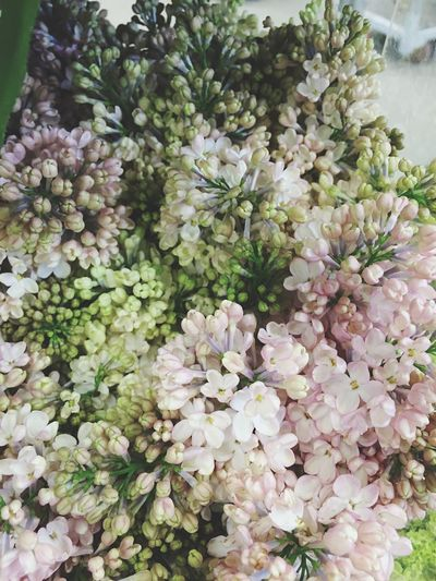 сирень сиреневый Lilac Lilac Bush Flowers Bush Out Of Season