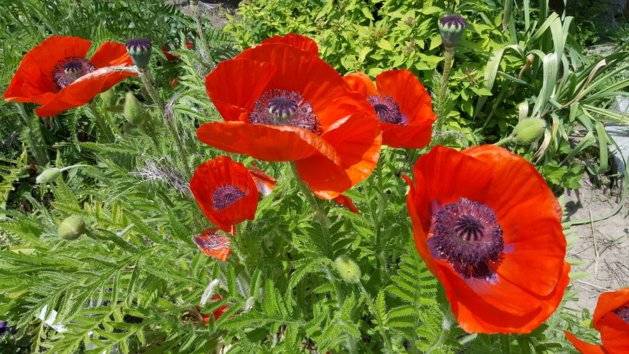 Poppies reminds me of home... Day Outdoors Beauty In Nature Flowers, Nature And Beauty Popies EyeEm Premium Collection