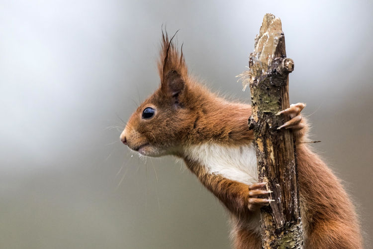 Squirrel Animal Themes Animal One Animal Animal Wildlife Mammal Rodent Chipmunk Animals In The Wild No People Squirrel Close-up Animal Body Part Side View Colored Background Brown Cute Profile View Gray Outdoors Nature Animal Head  Whisker