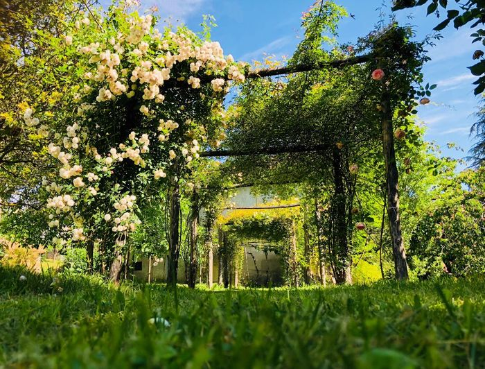 Roses and roses and roses .... Ornamental Garden Way Banksia Banksiarose Spring Pathway Pergola Climbing Plant Roses Plant Growth Tree Green Color Nature Day No People Beauty In Nature Sky Sunlight Outdoors Grass Land Field Tranquility Low Angle View Agriculture Landscape Rural Scene Foliage Scenics - Nature
