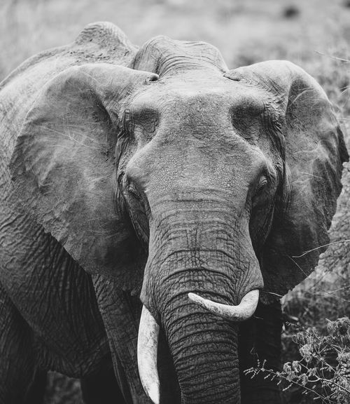 African Elephant Animal Trunk Animal Wildlife Animals In The Wild Blackandwhite Close-up Elephant Ellie  Ivory Mammal Masai Mara Nature Nature Nature_collection No People Poaching Safari Safari Animals Trunk Tusk Wildlife