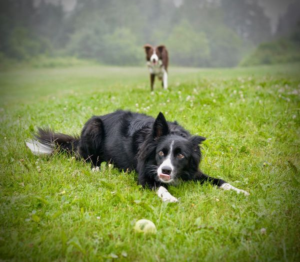 Boarder collies