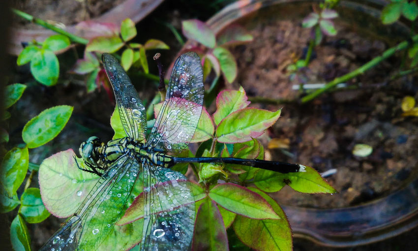 Dragonfly Nature Insects Nature Photography From My Point Of View Dragonfly Dead Dragonfly On Rose Leaves Rose Leaves After Rain Showcase June