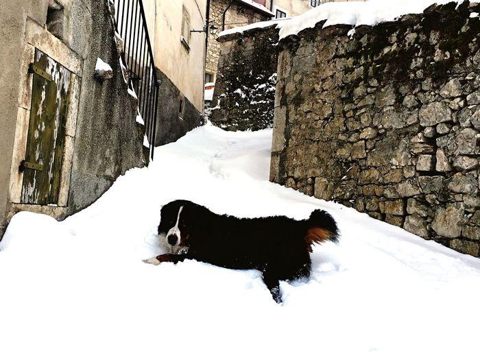 Berner Bernesemountaindog Bernese Mountain Dog Bovarodelbernese Bovaro Baloo I Love My Dog Dogs