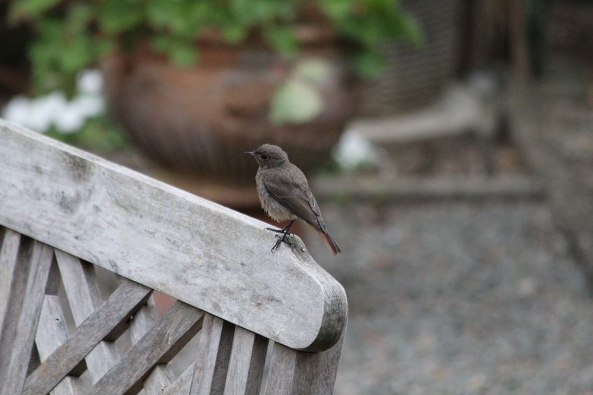 Beauty In Nature Bird Canon EOS 1300D Close-up Little Bird Little Birdy Little Birdy Outside Nature Outdoors Showcase July Wood - Material
