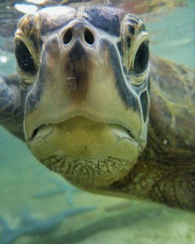 Close up... Penyu Pulaupari KepulauanSeribu INDONESIA Iloveindonesia Mytrip MyAdventure Sea Underwater Wild Dilindungi Langka Closeup Lumix Panasonic  Lumixft4
