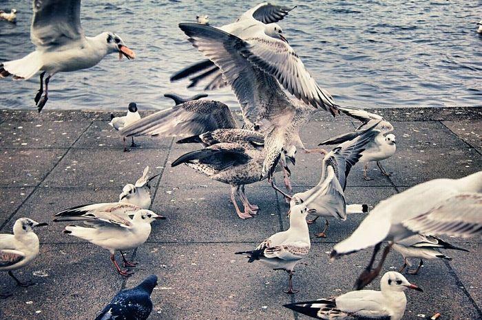 Möwenchaos 😍💙🐦 Animals Norddeutschland Taking Photos Bird Photography Followme Hamburg Seagull Photography Möwe Möwenleckerbissen