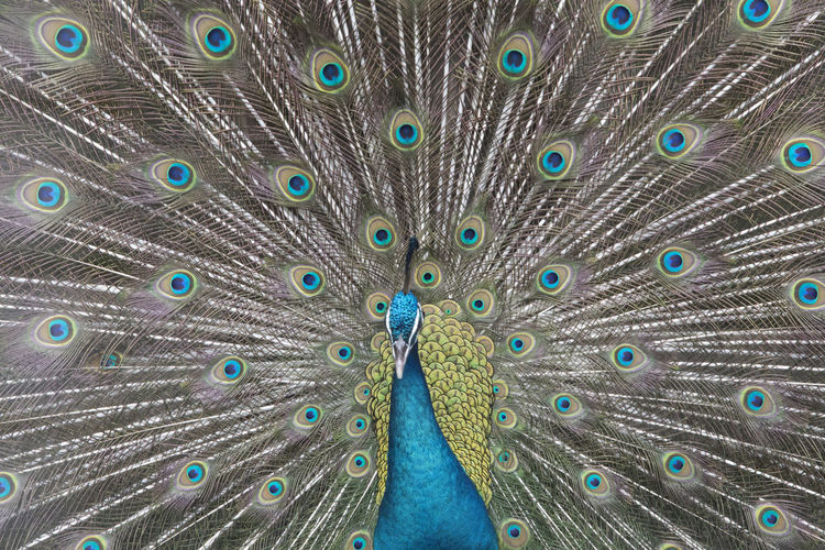 Animal Themes Animal Wildlife Animals In The Wild Beauty Beauty In Nature Bird Close-up Day Fanned Out Feather  Full Frame Looking At Camera Multi Colored Nature No People One Animal Outdoors Peacock Peacock Feather Portrait Spread Wings Vanity Pigeon Merak