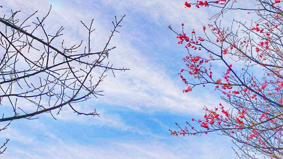 Taking Photos Compare Cherry Blossom Sky And Clouds Sky Skyandflowers Nature Blue Sky Blue Simple Photography