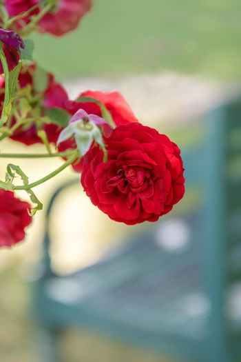 Flower Flowering Plant Beauty In Nature Plant Fragility Vulnerability  Red Freshness Close-up Rosé Petal Inflorescence Growth Flower Head Rose - Flower Focus On Foreground Nature Day No People Outdoors Parkbank Park View
